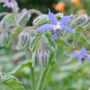 eetbare tuin in juli 15 - 4 van 6