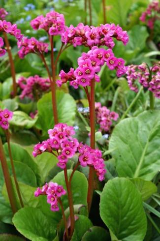 bergenia_winterglut_schoenlappersplant_-_p9-1-large