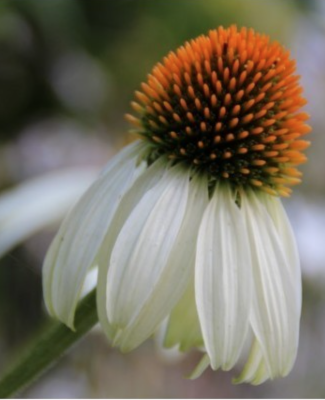 Enchinacea purpurea White Swan