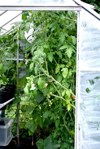 kasje volkstuin tomatenplanten