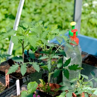 tomaten plantjes