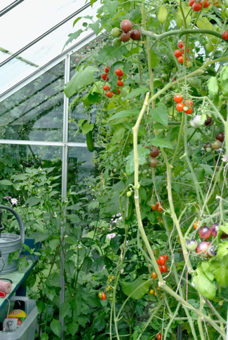 kas tomaten