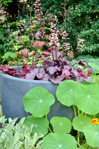 heuchera in pot