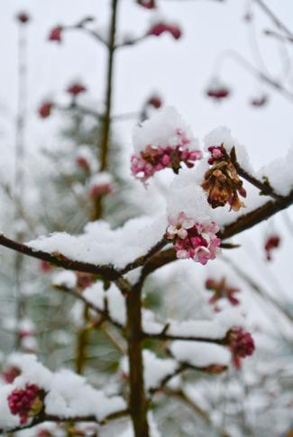bloesem in de sneeuw