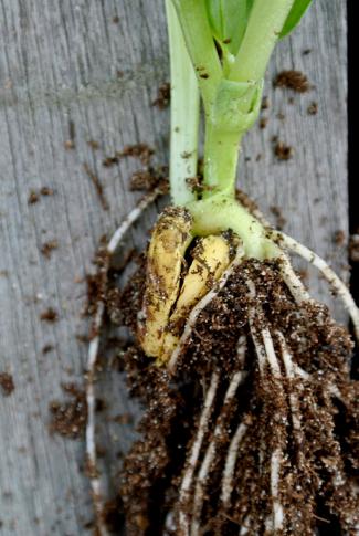 Tuinbonen planten