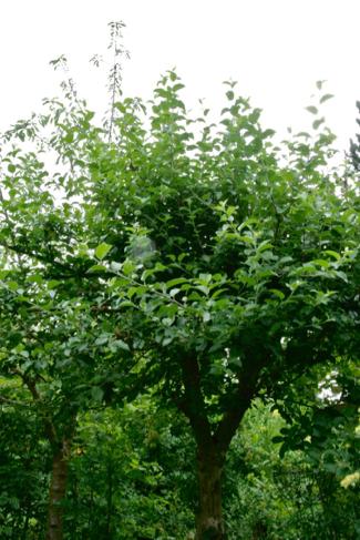 Zomersnoei appelboom