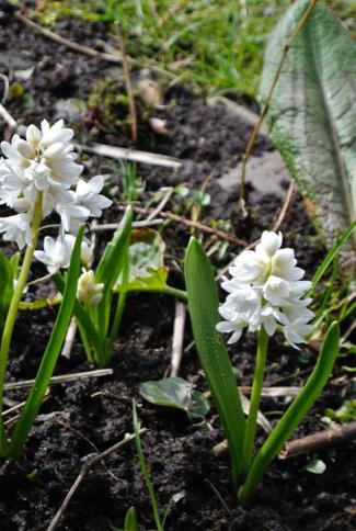buishyacint-voorjaar-amstelglorie