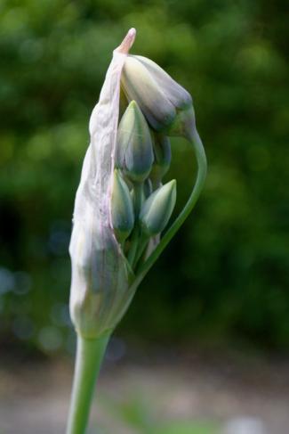 Allium-siculum-bloemknop
