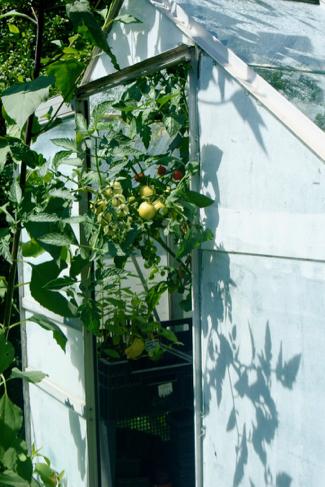 kas-volkstuin-tomaten
