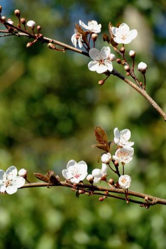 prunusbloesem-volkstuin